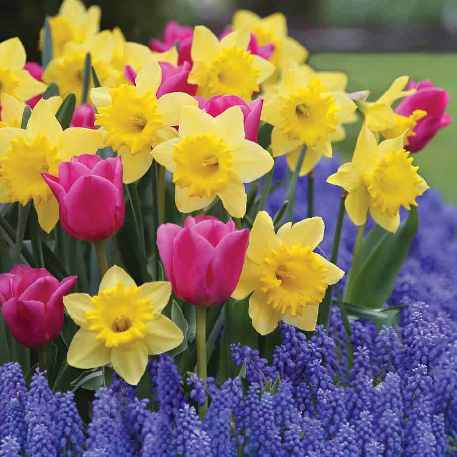 Dutch Master daffodils, Involve tulips and Muscari provide several layers of color in the garden. (Photo by Longfield Gardens.)