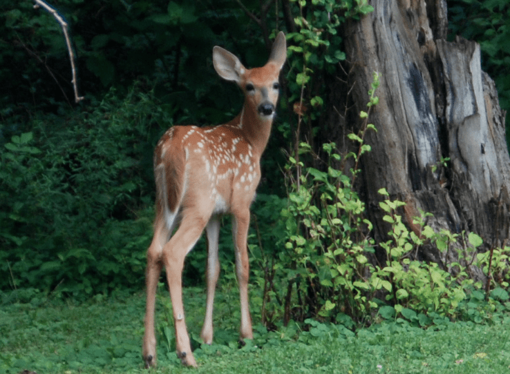 Protect Your Garden from the Deer, Pittsburgh Deer Population