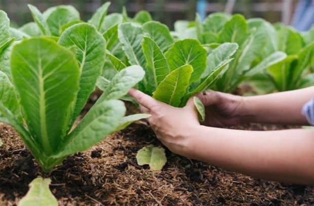Sayuran Terbaik Untuk Tumbuh di Iklim Dingin